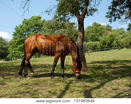 Beautiful brown horse grassing in summer under tree shadow