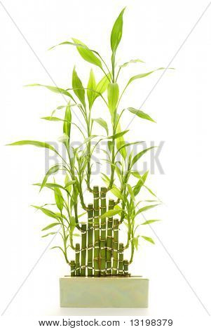 Bambus, isolated on white background