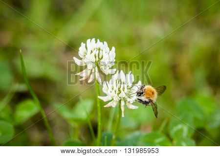 Closeup Of Little Bee