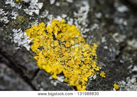 macro yellow moss on tree cortex tree