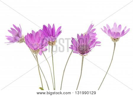 natural Immortelle flower isolated on white background