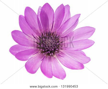 purple Immortelle flower isolated on white background