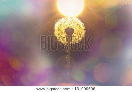 Close up shot of dandelion