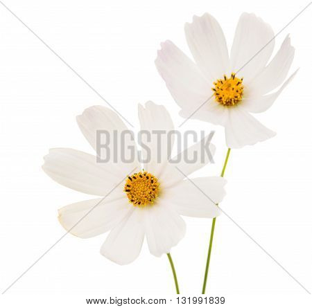 beautiful Cosmos Flowers Isolated on White Background.