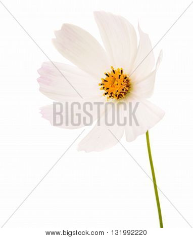 daisy Cosmos Flowers Isolated on White Background.