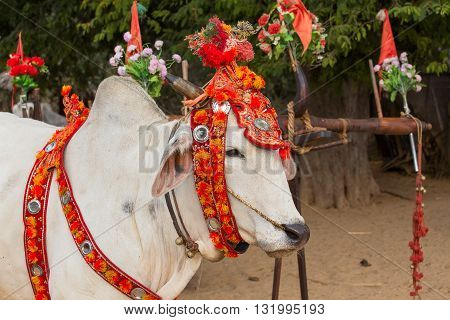 Decorated cow who participated in the donation channeled ceremony Shinbyu marking the samanera ordination of a boy under the age of 20. Bagan Myanmar