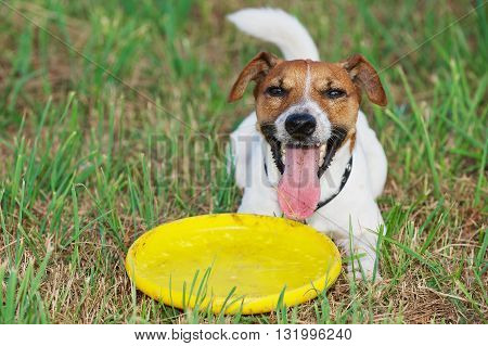 Jack Russel terrier lays on the grass with yellow plastic disk.