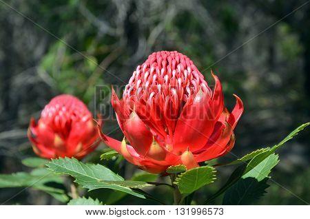 Pair of red flower heads of the Australian Waratah