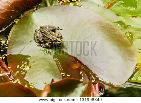 Green water frog on a leaf of a water lily
