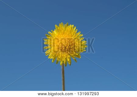 Yellow dandelion on blue sky background at Sunny day