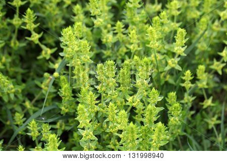 Crossword or smooth bedstraw (Cruciata laevipes) flowers.