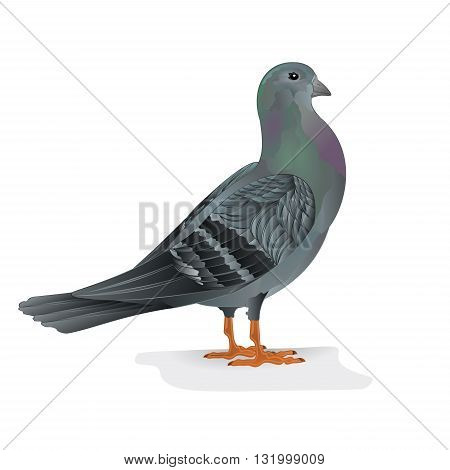 Carrier pigeon breeding bird sports bird vector illustration