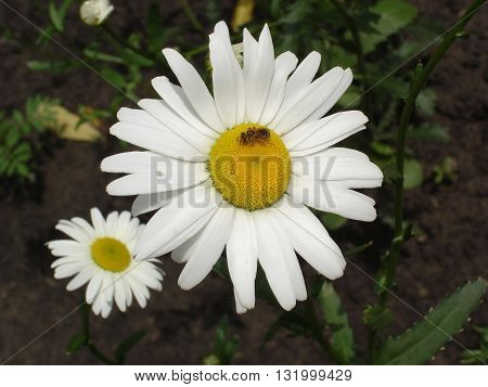 White and yellow daisies flowers with bee.