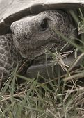foto of cooter  - (florida tortoise sunning self) thank you very much for looking - JPG