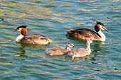 pic of great crested grebe  - this is a family of great creasted grebes. the young ones are striped. this is a european species of grebe