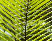 Постер, плакат: Pattern Of Palm Leaves In The Jungle In Dominica