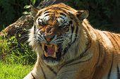 Tiger Snarl 003