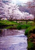 stock photo of cherry blossom  - Small creek waterway found in a rural town in Japan surrounded by Chery blossoms - JPG
