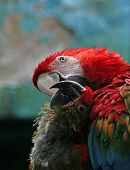 Two In Love Parrots.
