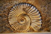 image of echinoderms  - Beautiful seashell - JPG