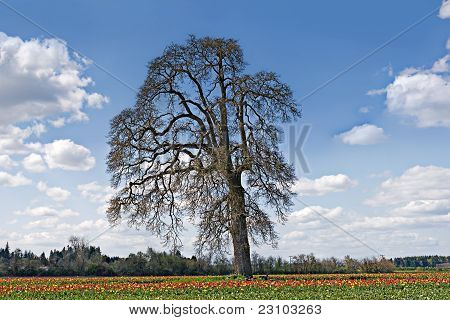 Oak Tree In Tulip Field