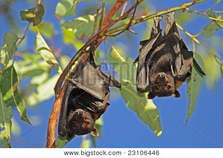 Black Flying-foxes