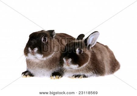 Two dwarfish rabbits. Isolated on the white