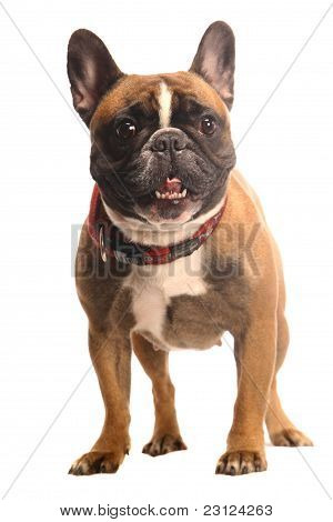 Red French Bulldog on white