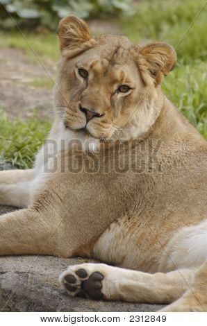 African Lioness Portrait 3