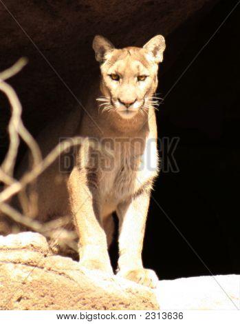 A Mountain Lion'S Lair