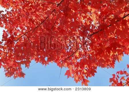Red Fall Color