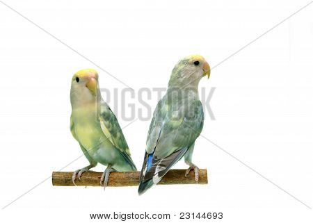 Pair of Peach-faced Lovebirds (