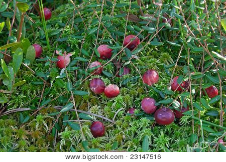 Cranberries In The Moss