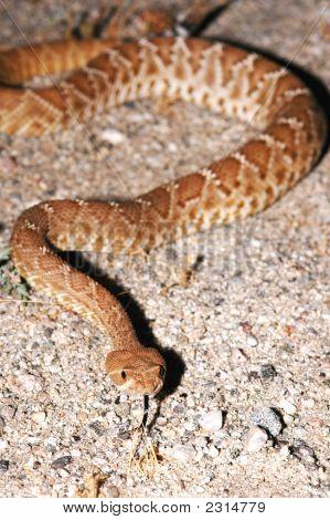Red Diamond Rattlesnake