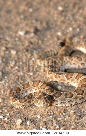 Juvenile Prairie Rattlesnake