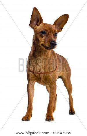 The dwarfish pinscher