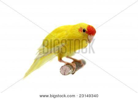 Red-fronted Kakariki parakeet yellow colored on white