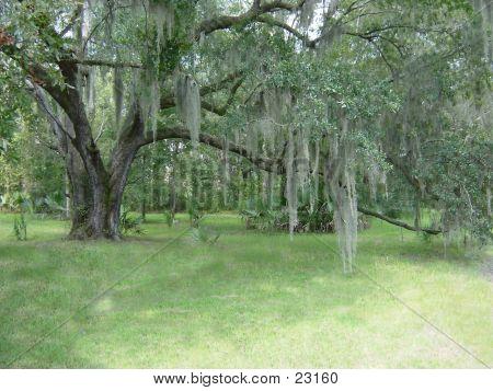 Oak N Spanish Moss