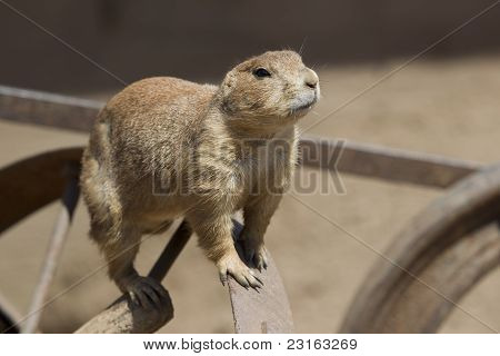 A Prarie Dog Looking At You