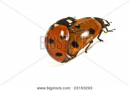 Ladybugs Makin' Whoopee