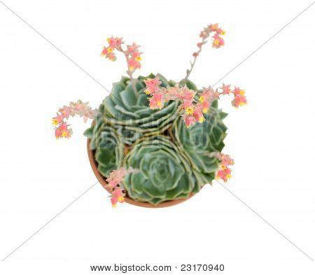 Echeveria glauca in a pot isolated