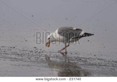 Seagull's Lunch