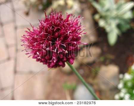 onion flower in shade