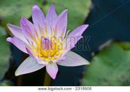 Mauve Waterlily