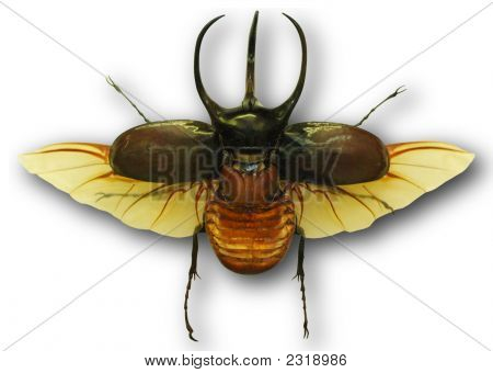 Beetle Isolated With Shadow