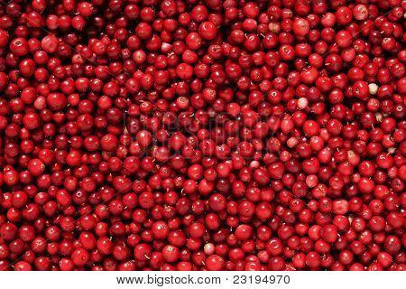 Cowberry Or Lingonberry (vaccinium Vitis-idaea )