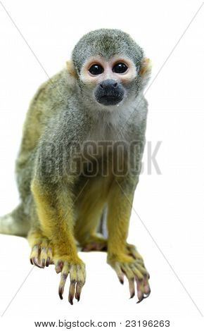 Squirrel monkey on white