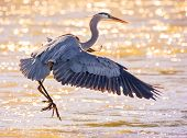 beautiful great blue heron flying over the water in a local wildlife park after fishing  poster