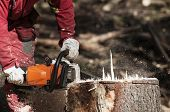 Forestry Worker Cutting The Stump Of A Spruce Tree With Chainsaw poster