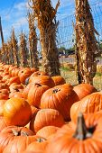 stock photo of chicken-wire  - a vertical shot of many rows of bright orange pumpkins bordered by dried corn stalks and chicken wire - JPG